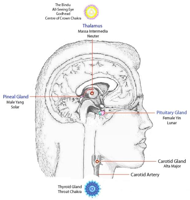 glands-brain2